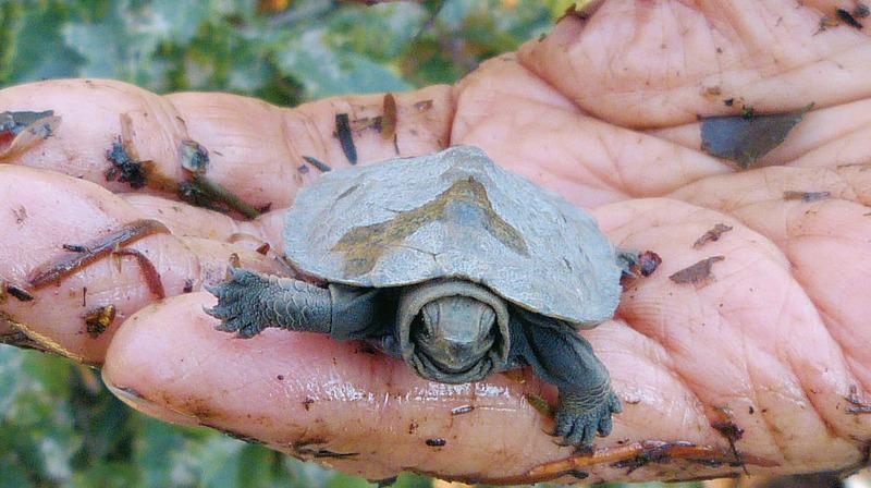 井の頭公園の生き物たち|第15回「ニホンイシガメ」