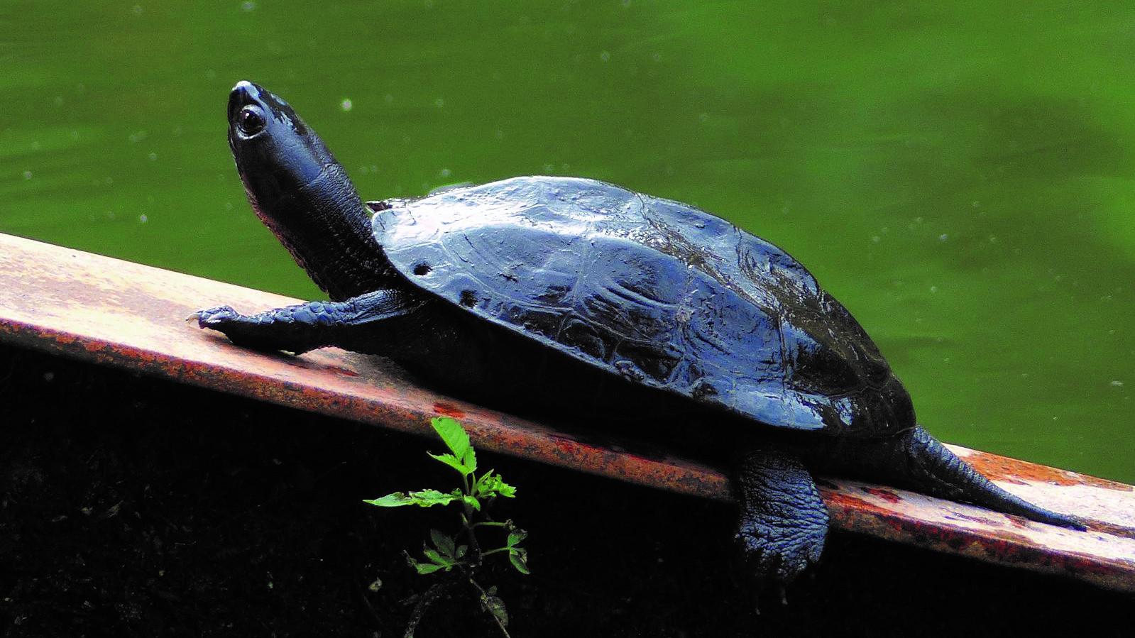 井の頭公園の生き物たち|第23回「クサガメ」