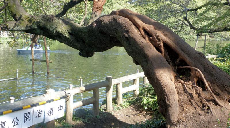 井の頭公園の生き物たち|第7回「ソメイヨシノ」