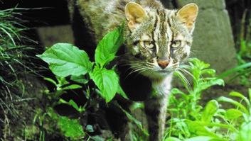 井の頭自然文化園の動物たちと飼育員|その2「ツシマヤマネコと佐々木真一さん」
