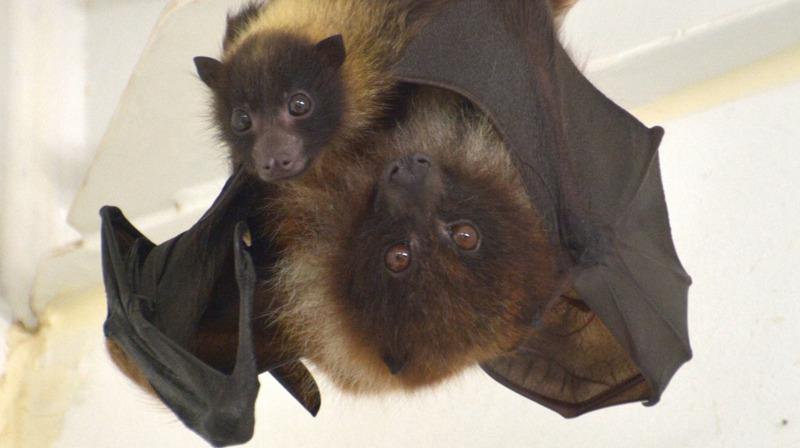 【井の頭自然文化園の動物たちと飼育員 第4回】 オリイオオコウモリと田口眞隆さん