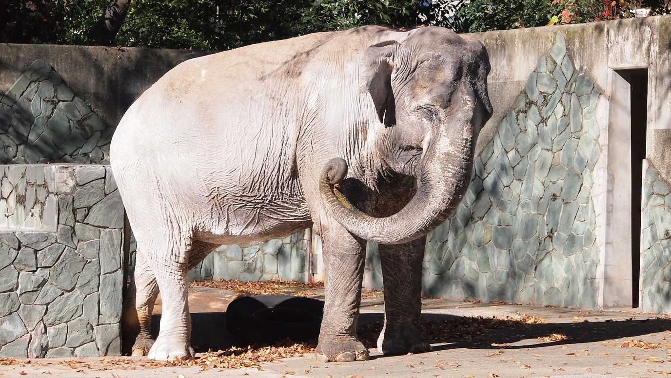 井の頭自然文化園の動物たちと飼育員|その7「アジアゾウと宮路良一さん」