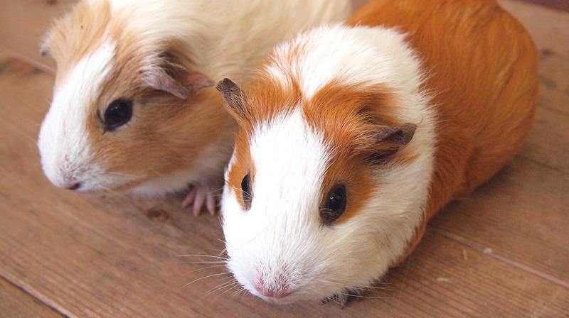 【井の頭自然文化園の動物たちと飼育員 第11回】 モルモットと堀井葉子さん