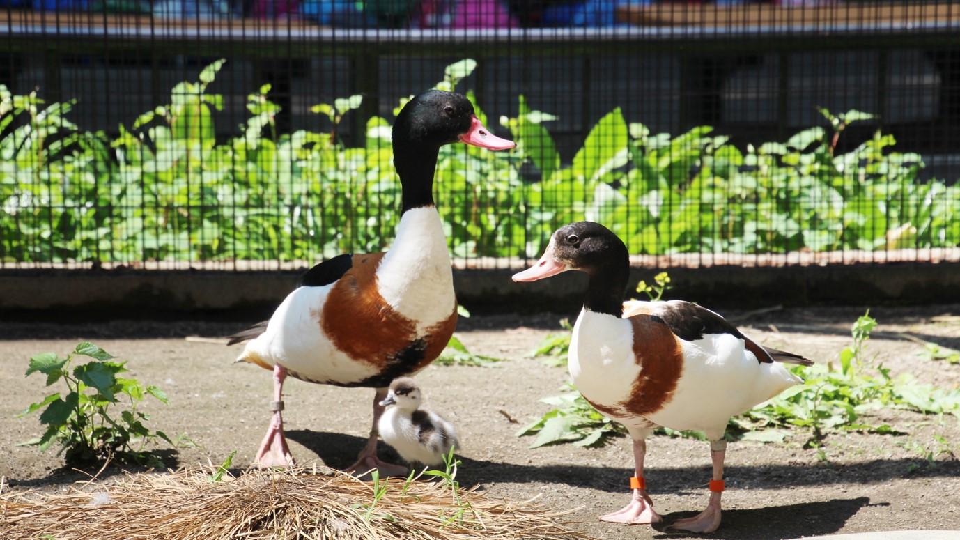 井の頭自然文化園の動物たちと飼育員|その15「ツクシガモと東條裕子さん」