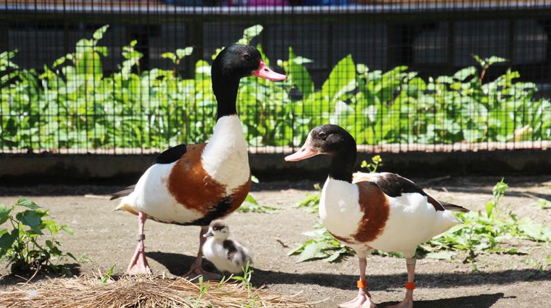 【井の頭自然文化園の動物たちと飼育員 第15回】 ツクシガモと東條裕子さん