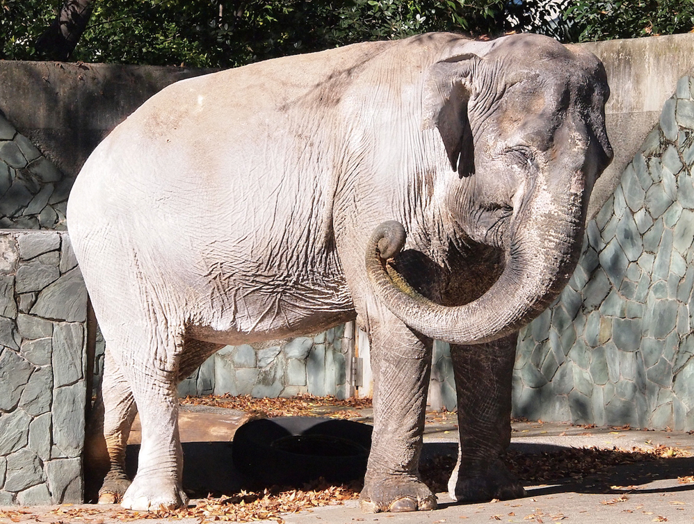 【井の頭自然文化園の動物たちと飼育員 第7回】 アジアゾウと宮路良一さん