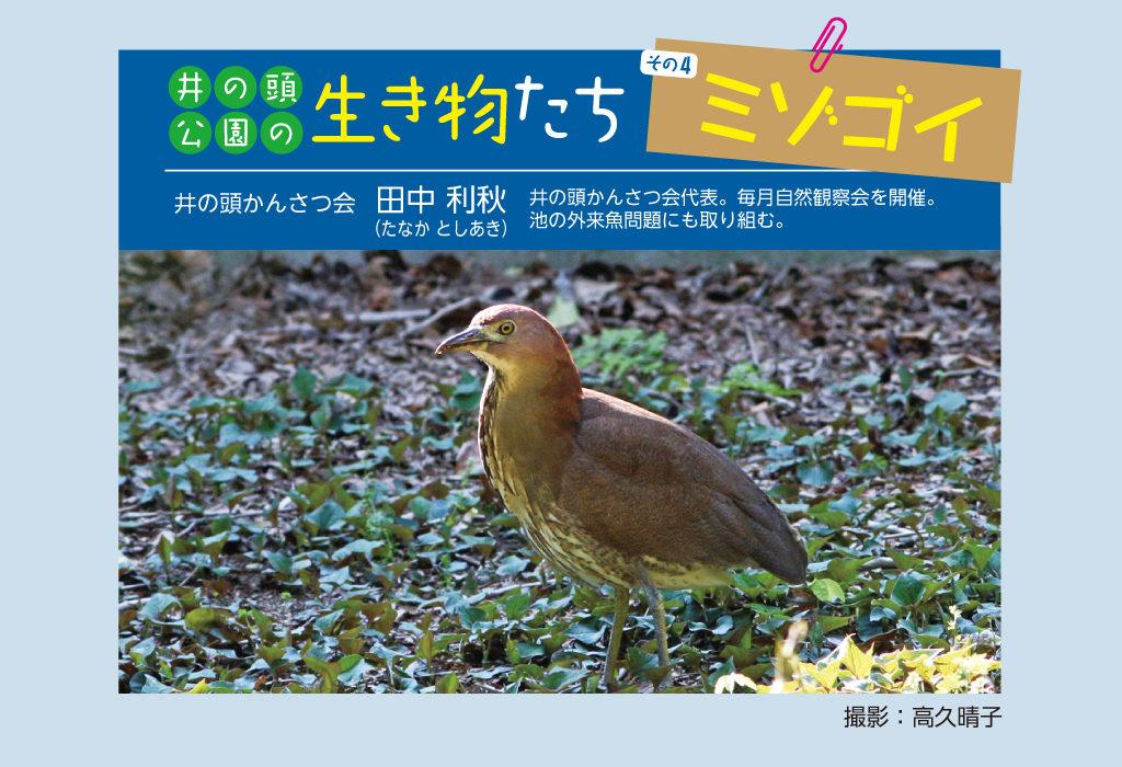 井の頭公園の生き物たち 第4回 ミゾゴイ