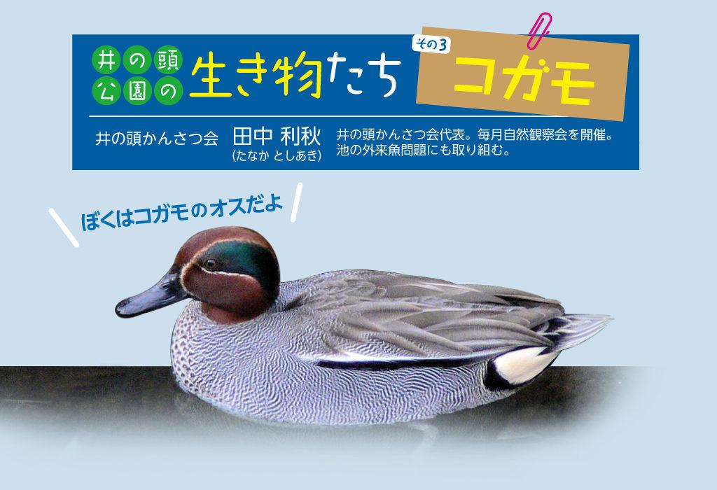 【井の頭公園の生き物たち 第3回】 コガモ