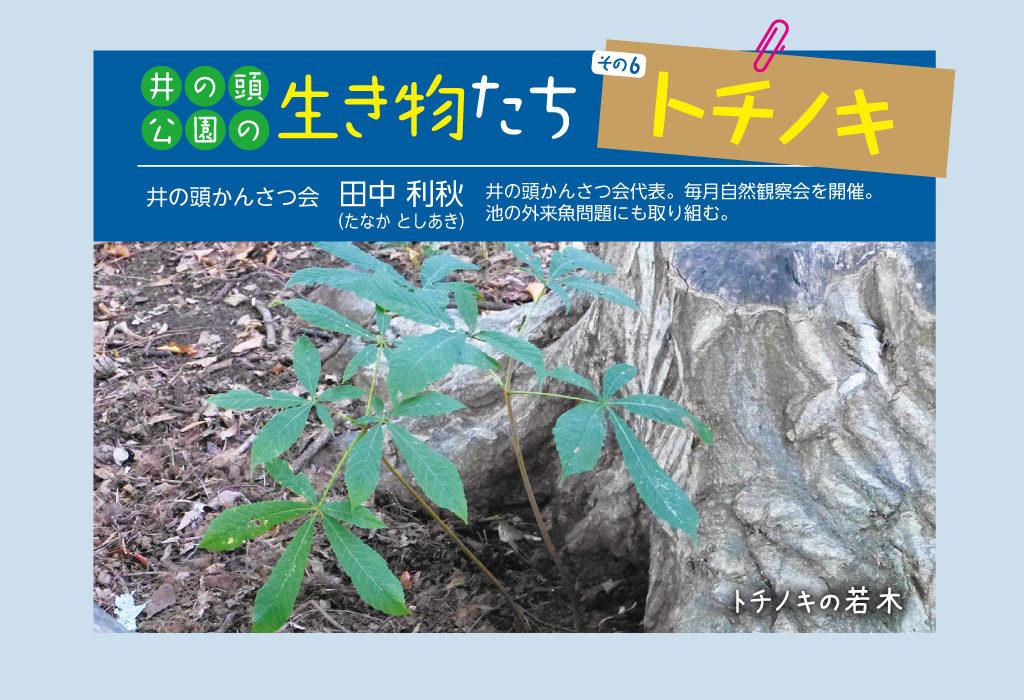 井の頭公園の生き物たち 第6回 トチノキ