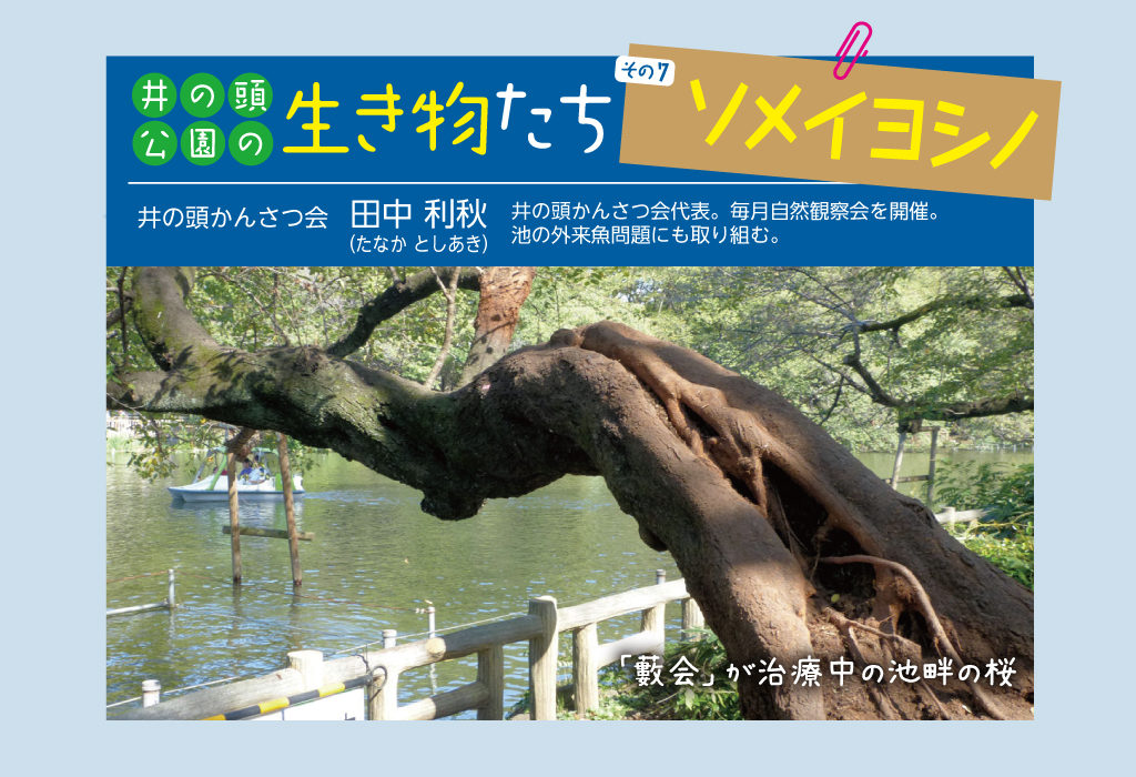 【井の頭公園の生き物たち 第7回】 ソメイヨシノ